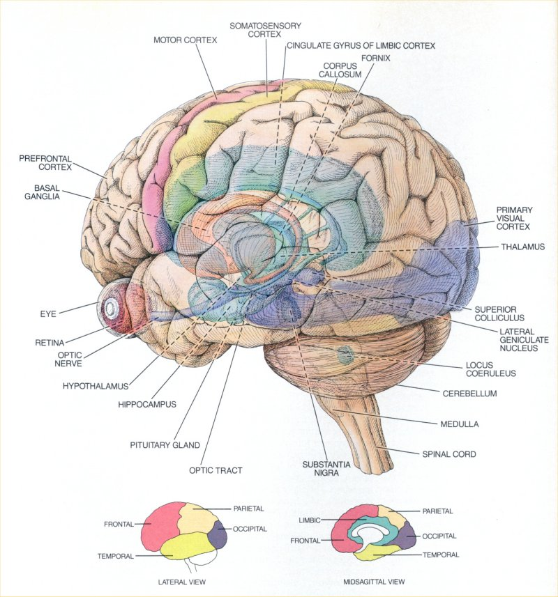 The Central Nervous System | Anatomy and Physiology I |Cerebral Cortex Structure